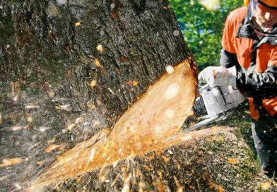 Brzy dojde kpokácení vzrostlých stromů