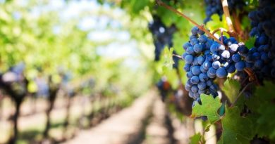 purple-grapes-553463_640